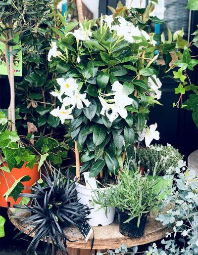 Dipladenia Espalier Blanc - Les Bouquetiers - Fleuriste