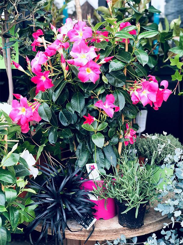 Dipladenia Espalier Rose - Les Bouquetiers - Fleuriste