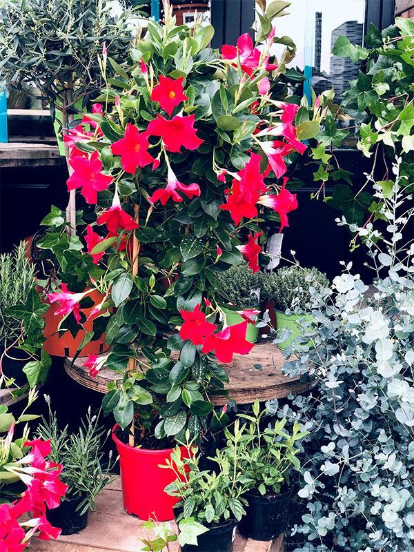 Dipladenia double arc grande taille - Les Bouquetiers - Fleuriste