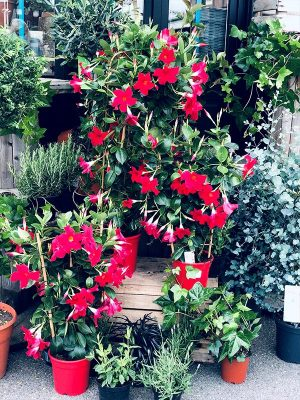 Dipladenia Espalier Rouge - Les Bouquetiers - Fleuriste