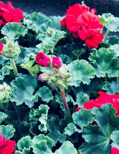 Géranium rouge - Les Bouquetiers - Fleuriste