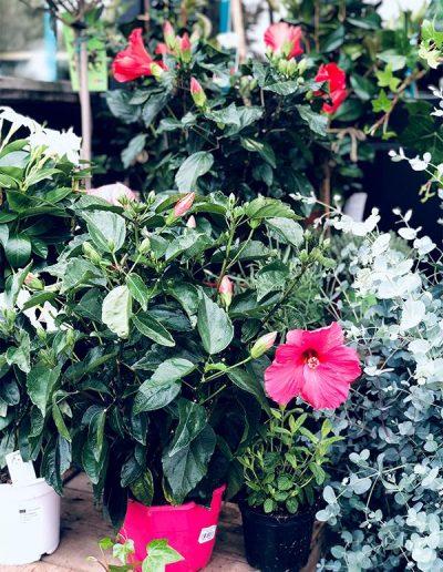 Hibiscus - Les Bouquetiers - Fleuriste