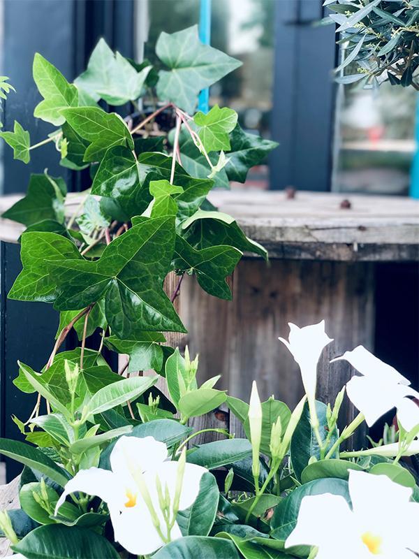 Lierre Hedera - Les Bouquetiers - Fleuriste