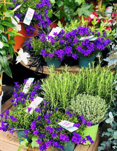 Campanule - Les Bouquetiers - Fleuriste