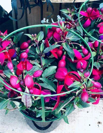 Fuchsia - Les Bouquetiers - Fleuriste