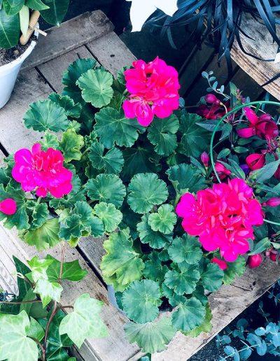 Géranium rose - Les Bouquetiers - Fleuriste
