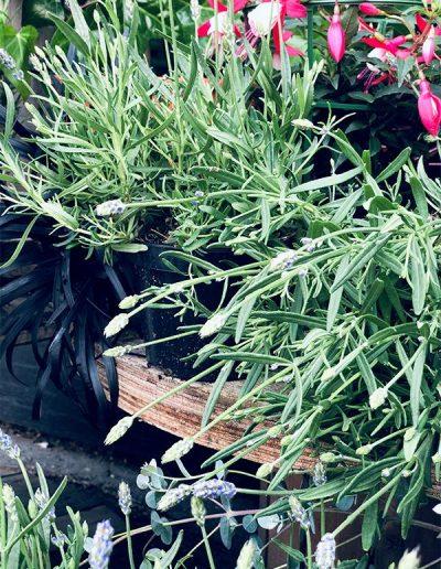 Lavande - Les Bouquetiers - Fleuriste