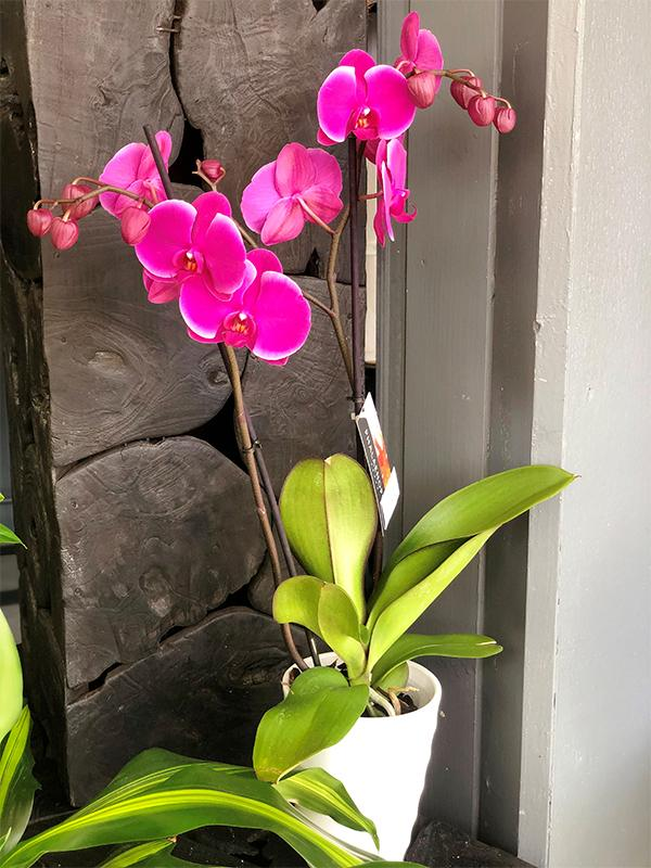 Orchidee Phlenopsis 2 tiges
