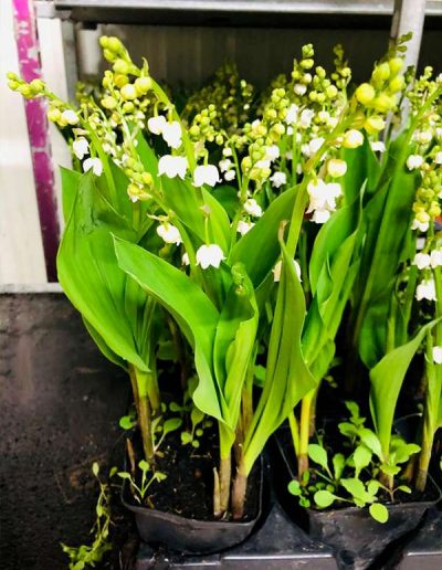 Muguet 2021 Les Bouquetiers Fleuriste